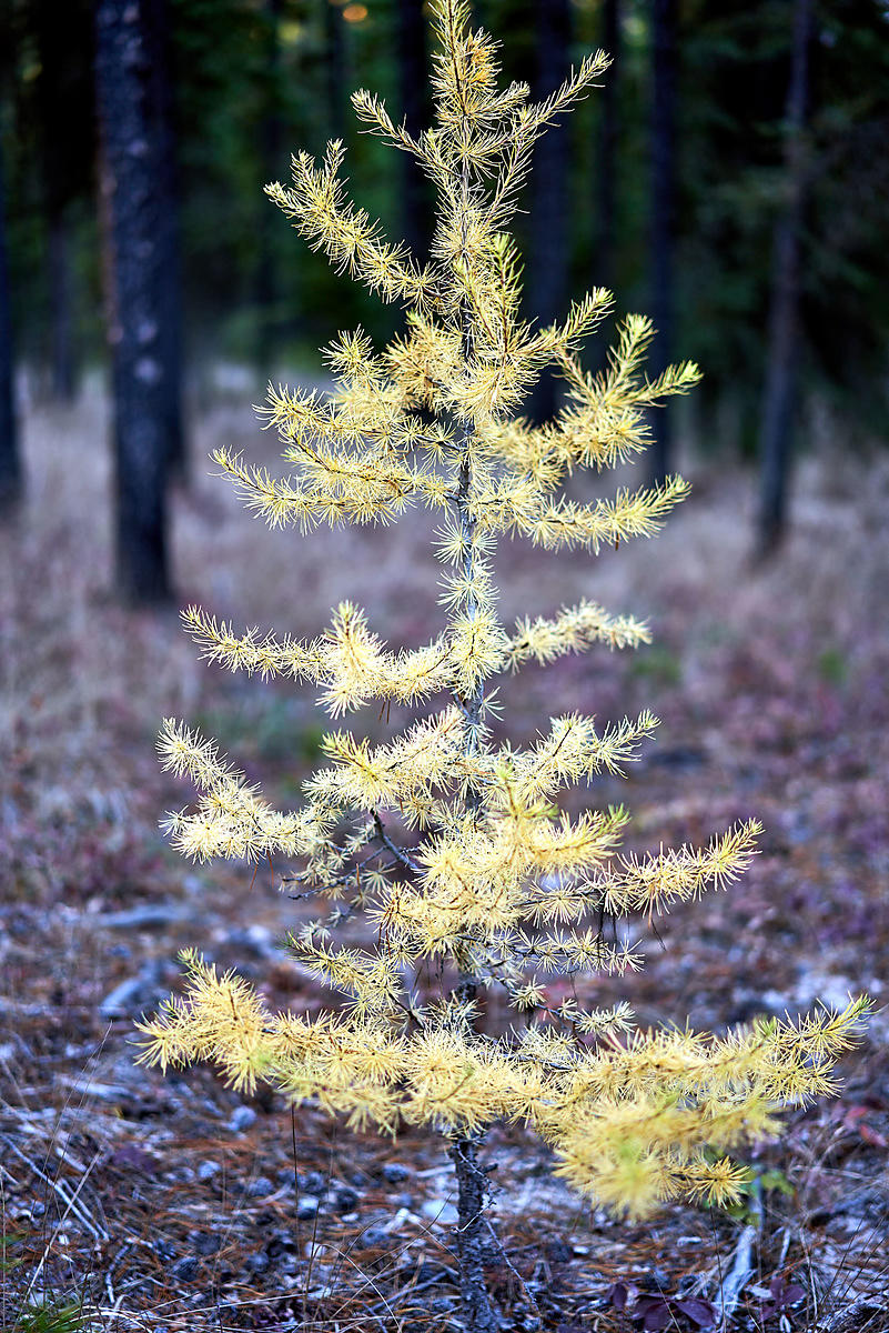 Solitary Larch