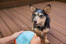 Happy Terrier Dog Looking at Frisbee Held by Womans hands