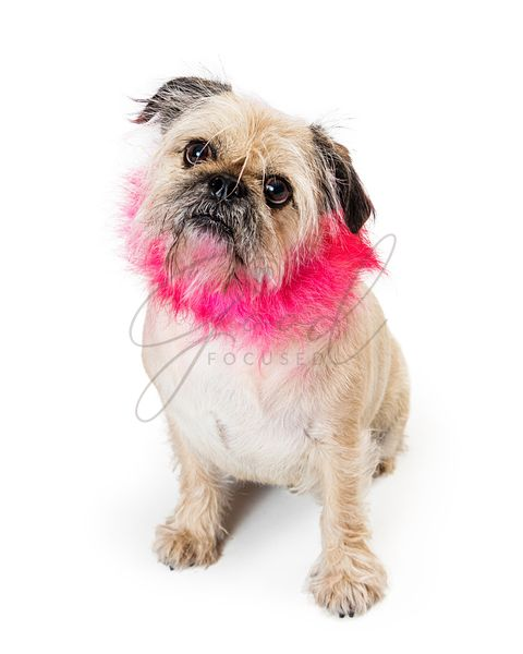 Dog With Pink Lion Mane Haircut