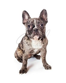 Lazy eye listening pet French bulldog isolated