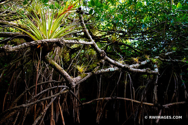 TURNER RIVER MANGROVE FOREST TUNNEL BLOOMING BROMELIAD BIG CYPRESS NATIONAL PRESERVE EVERGLADES FLORIDA