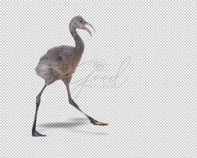Baby Flamingo Walking Extracted