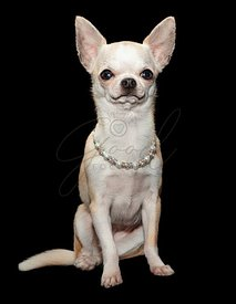 Spoiled Chihuahua Dog Wearing Fancy Necklace