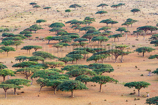 Frankincense Tree Forest