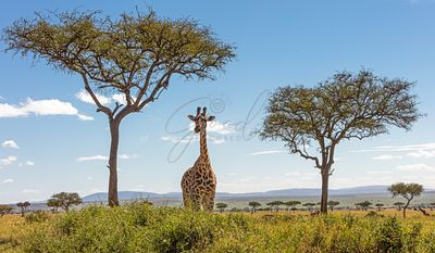Giraffe in Acacia Tree Forest