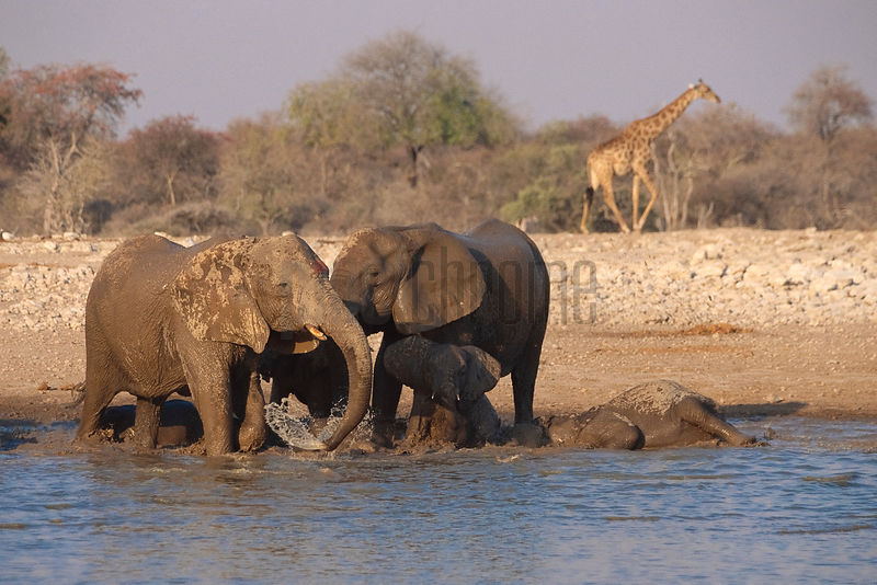 Elephants Bathing at a Waterhole