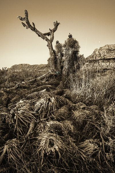 Vintage Old Joshua Tree Roots