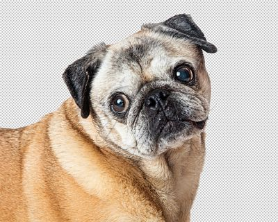 Closeup Portrait Sweet Pug Purebred Dog