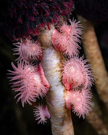 Cluster of Proliferating Anemone, Epiactis prolifera, on Feather Duster worms on the walls at Steep Island, Discovery Passage.