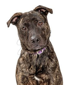 Closeup portrait sweet attentive pit bull isolated