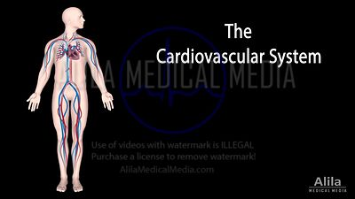 Overview of the cardiovascular system NARRATED animation