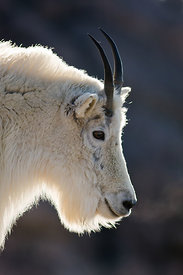 Backlit Mountain Goat