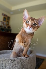 Abyssinian Kitten on Cat Tree with Paw Raised