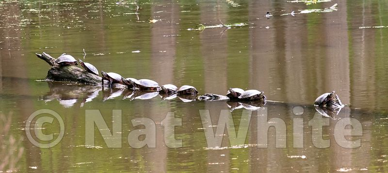 Turtle_Log-5359_May_10_2019_NAT_WHITE