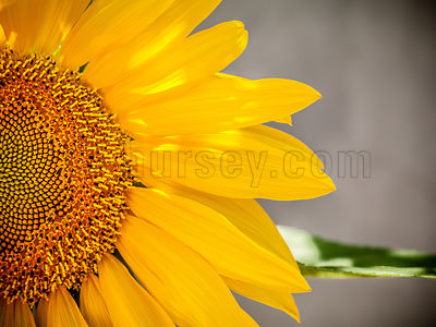 DH_Sunflower-0021