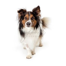 Walking pet border collie dog studio isolated