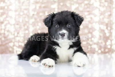 Black and white fluffy puppy lying down with pink sparkle background