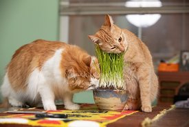Two Cats Eating Cat Grass on Table Cloth