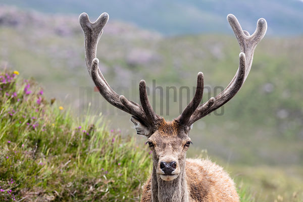 Portrait of a Red Deer Stag