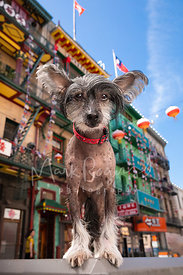 Chinese Crested Dog Standing on Street in Chinatown