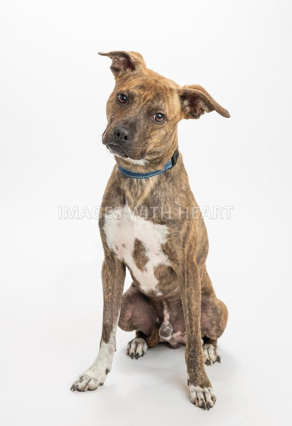 Head Tilted Brindle Pit Bull