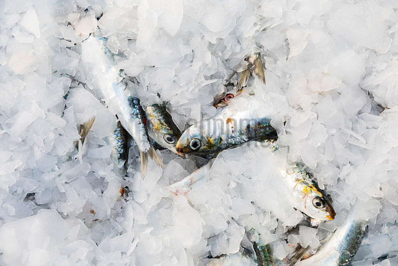Freshly Caught Sardines with Ice at the Porte de Pêche (Fishing Port)
