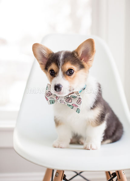 Corgi puppy on chair