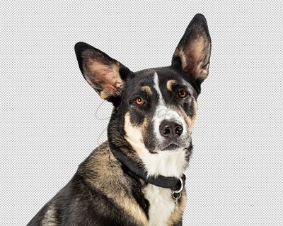 Closeup Shepherd Crossbreed Dog Portrait Extracted