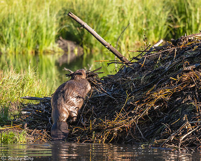 Beaver Working on the Lodge