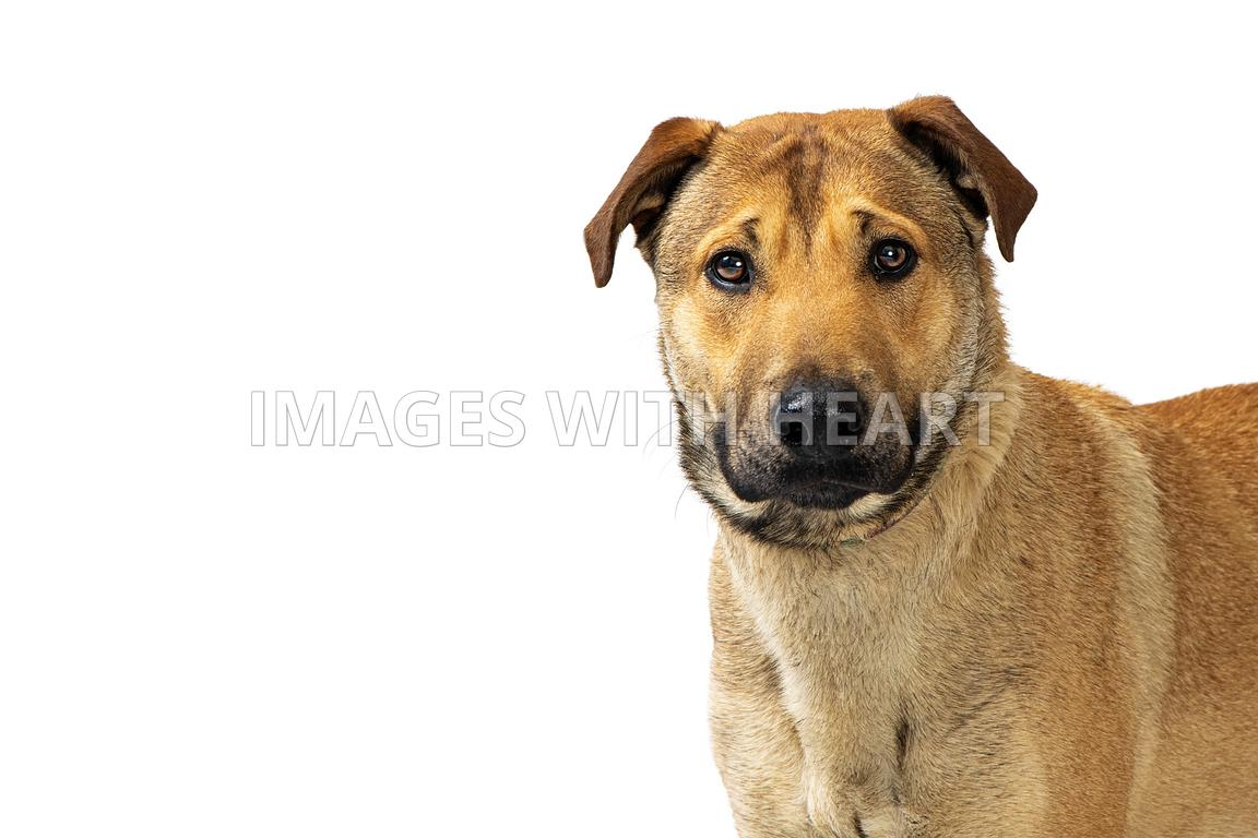 Close-up of Large Shepherd Crossbreed Dog