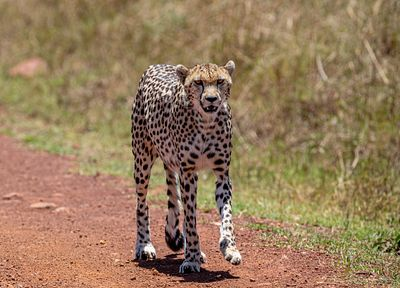 African Cheetah Walking Down Path in Masai Mara