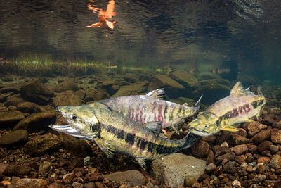 Chum salmon spawning sequence 1-08