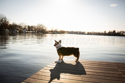 Side view corgi by lake