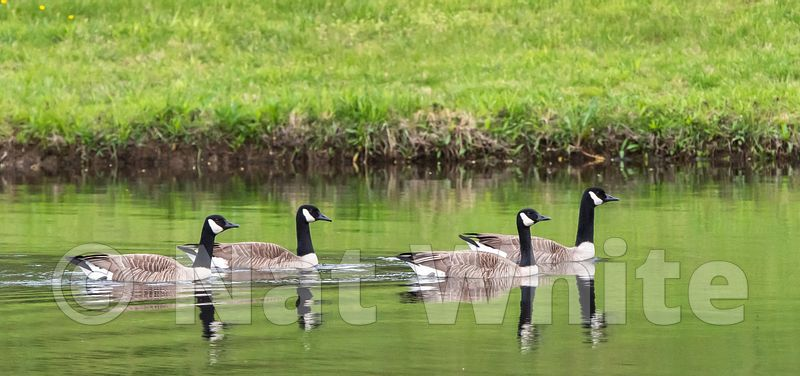 Goose_train_Date_(Month_DD_YYYY)1_1600_sec_at_f_8.0_NAT_WHITE