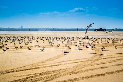 A flock of Black Skimmers flying around in South Padre Island, Texas
