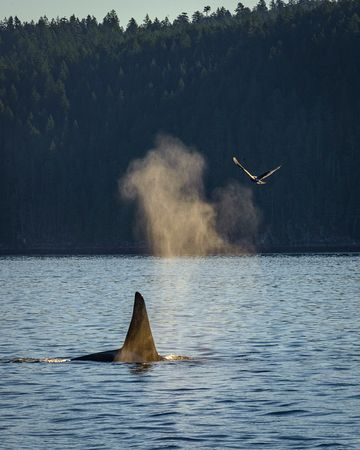 Killer whale in Campbell River