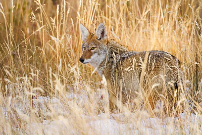 Coyote in Winter Grass