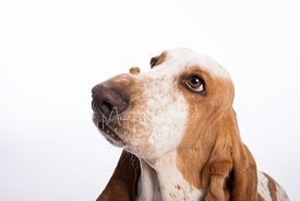 Basset Hound Looking Intently at Treat on Snout