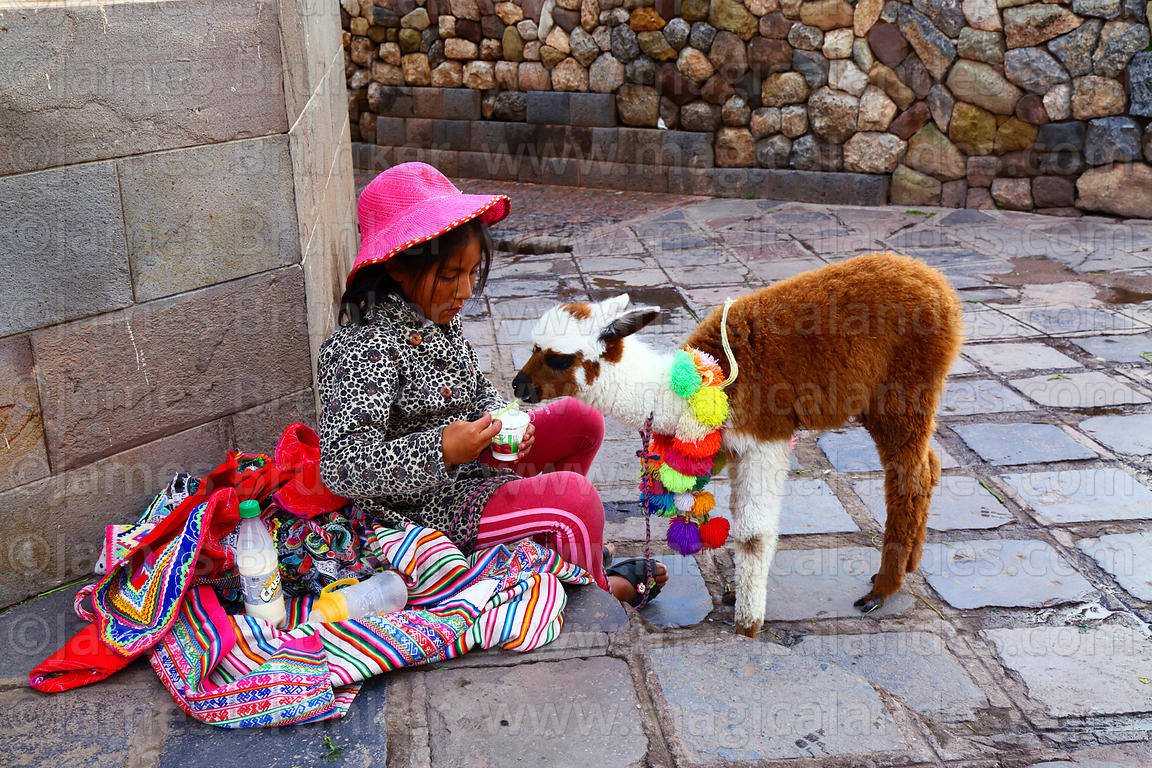 Quechua girl sitting on pavement feeding yoghurt to her pet baby alpaca (Vicugna pacos), Cusco, Peru
