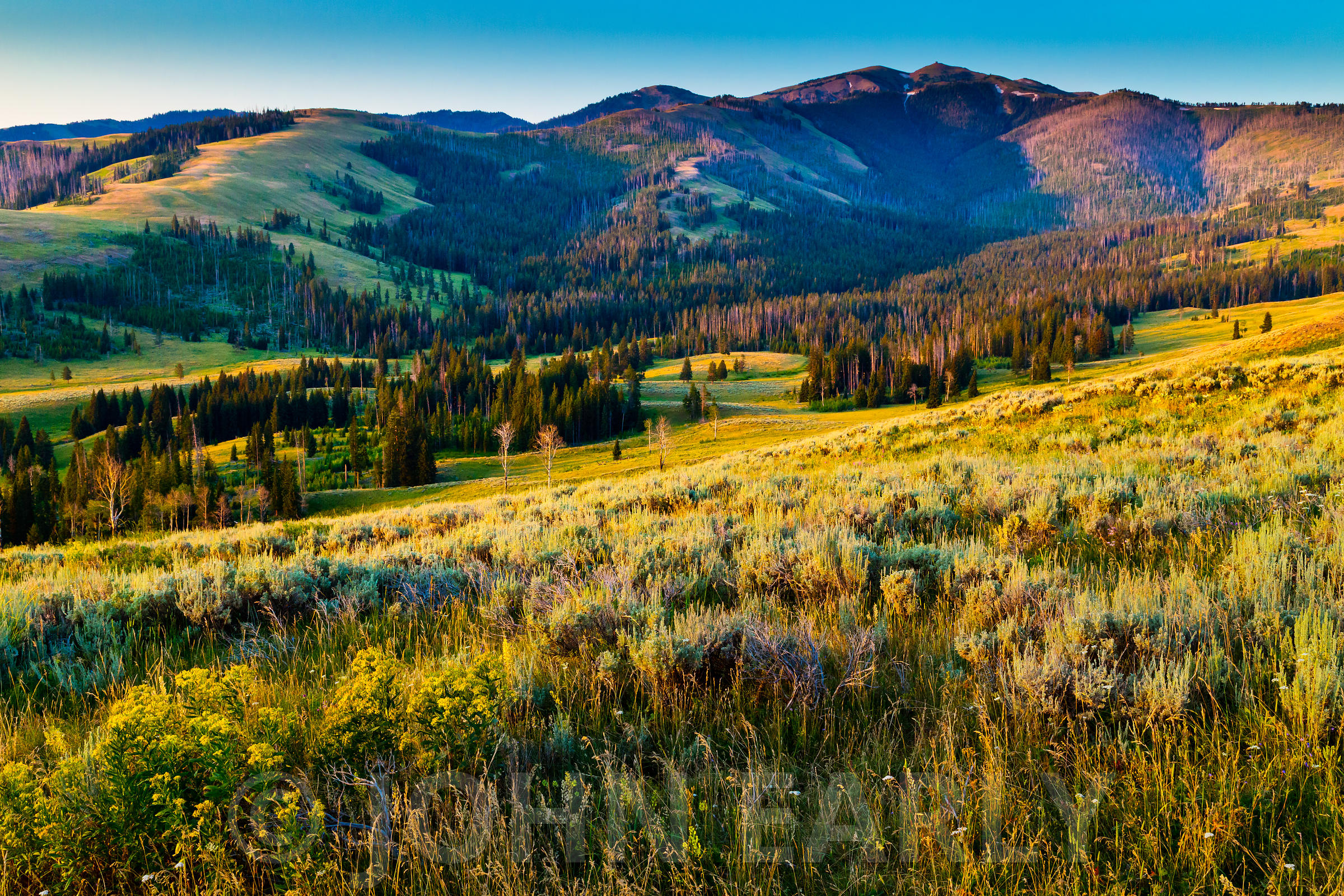 Meadows and trees at sunrise, Yellowstone National Park.