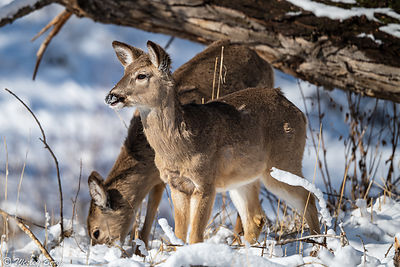White-Tailed Deer in the Newly Fallen Snow