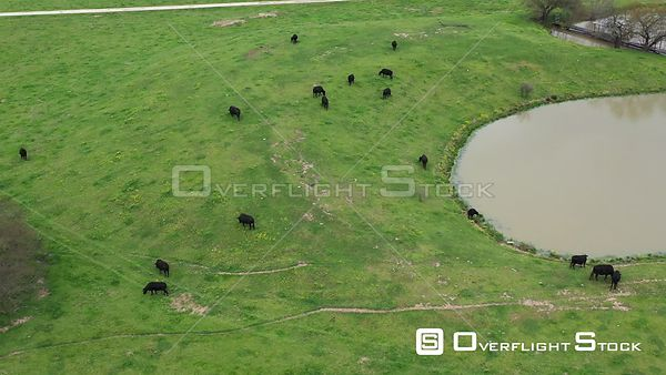 Cattle Grazing on Grass in a Pasture, Bryan, Texas, USA