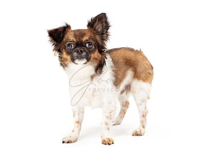 Papillon Small Crossbreed Dog Standing