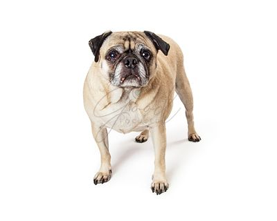 Sad pug dog standing isolated