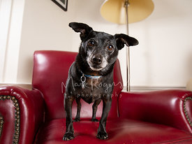 Black Chihuahua Mix Dog Tilting Head on Red Leather Chair
