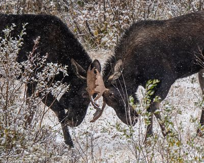 SJM22: Bull Moose Sparing During a Snowstorm