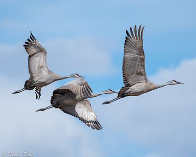 Sandhill Cranes Flying in Close Formation