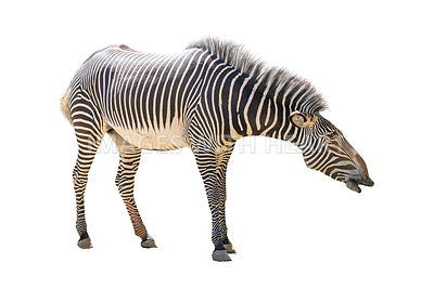 Grevys Zebra Facing Side Extracted