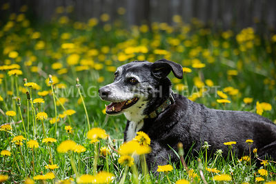 Black-Dog-Laying-in-Grass-and-Flowers
