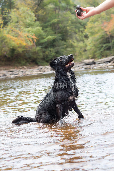 Black dog sitting in creek for rock